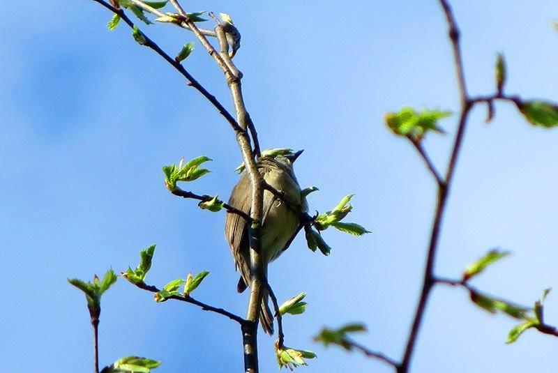 EDO vítání ptačího zpěvu